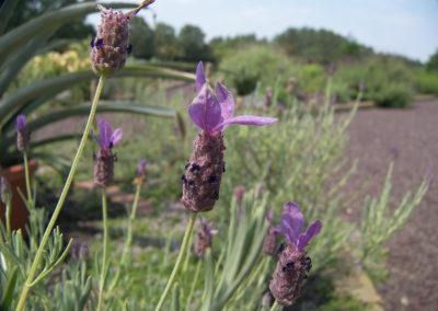 Wedding Lavender | Lavender bouquets