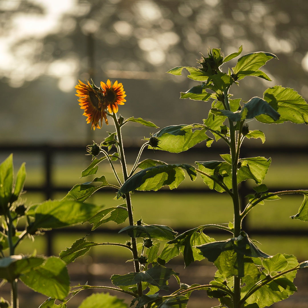 Sunflowers - Little Herb House